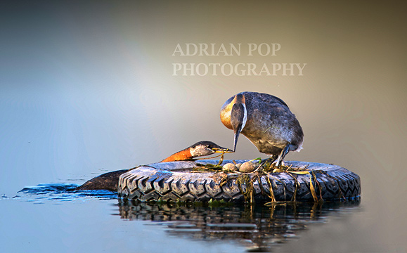 Adrian Pop Picture of Red Neked Grebe working together